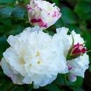 Розы Канада