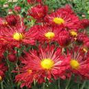 Хризантема зимостойкая - август
