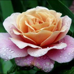 Роза Дистанц Дрим