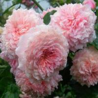 Розы Уильям Кристи