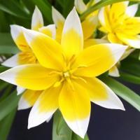 Тюльпан ботанический Тарда Дасистемон 10 шт