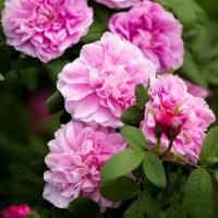 Роза канадская Свит Аделина