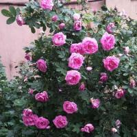 Роза канадская Васагаминг