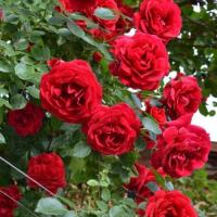 Роза плетистая Симпатия