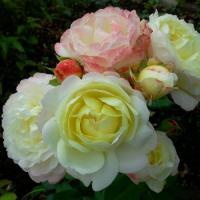 Роза Умка Марина