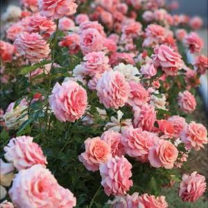 Роза английская Анна Болейн