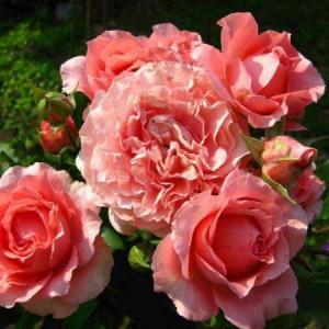 Роза японская  Корал Желе
