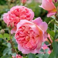 Роза английская  Боскобел
