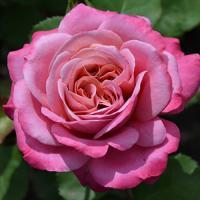 Роза Агнэсс Шийижэ