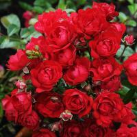 Роза почвопокровная  Альпэнглюэн