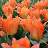 Тюльпан фостера Оранжевый император 8 шт