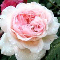 Роза Роберто капуччи