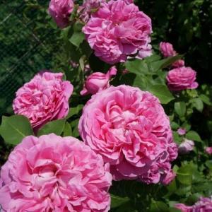 Роза старинная  Поль Нерон