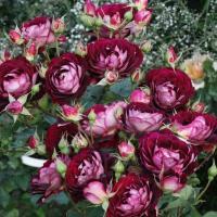 Роза Лия Меже