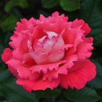 Роза Вайкики