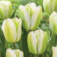 Тюльпан зеленоцветковый Спринг Гринн 8 шт