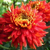 Хризантема корейская Аврора