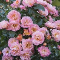Роза миниатюрная Пич Дрифт