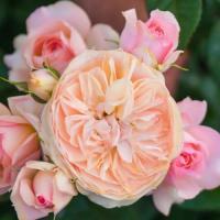 Роза Сурир де Хавр