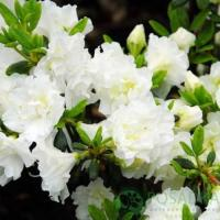 Рододендрон листопадный Шнеештурм
