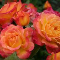 Роза Гартеншпас