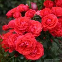 Роза Черри Гёрл