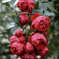 Роза плетистая Флорентина