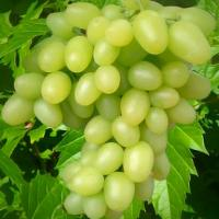 Виноград ранний Аркадия (Настя)