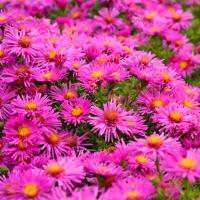 Астра кустарниковая  ярко-розовая