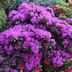 Рододендрон  листопадный Пурпуртраум