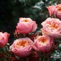 Роза Вувузелла