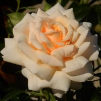 Роза Крем Карамель