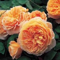 Роза английская К. Принцесс Маргарета