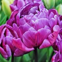 Тюльпан махровый поздний Блу Вау  6 шт