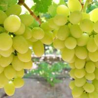 Виноград утраранний Дарья