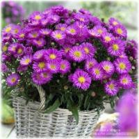 Астра многолетняя фиолетовая