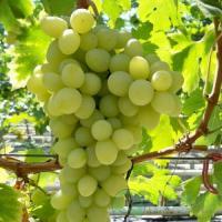 Виноград  средне-ранний Благовест