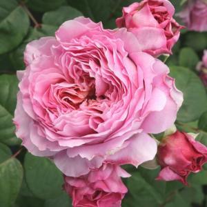 Роза Айсфогель