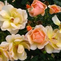 Роза миниатюрная Эмбер Сан