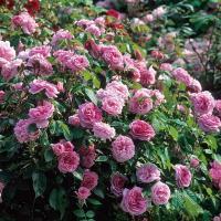 Роза английская Гертруда Джекилл