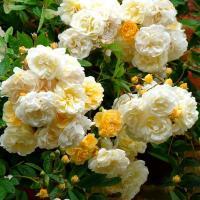Роза плетистая Гисленд де Фелигонд