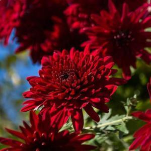Хризантема корейская Червона Калына
