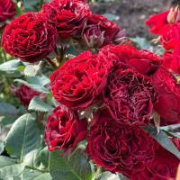 Роза миниатюрная Блек Джек