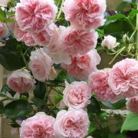 Роза плетистая Дрим Уивер