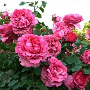 Роза японская Вагулетта