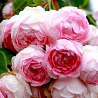 Роза плетистая  Ясмина