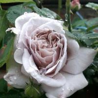 Роза плетистая Эш Венсди