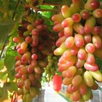 Виноград средне-ранний Маникюр Фригер