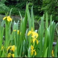 Аир болотный (корни) Проявляет сильнейшие противопаразитарные свойства в органах нервной системы, печени, кишечника.
