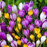 Коллекционная смесь  крупноцветковых  крокусов 20 шт